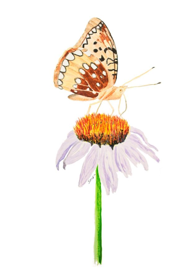 Spangled Fritilary on Echinacea