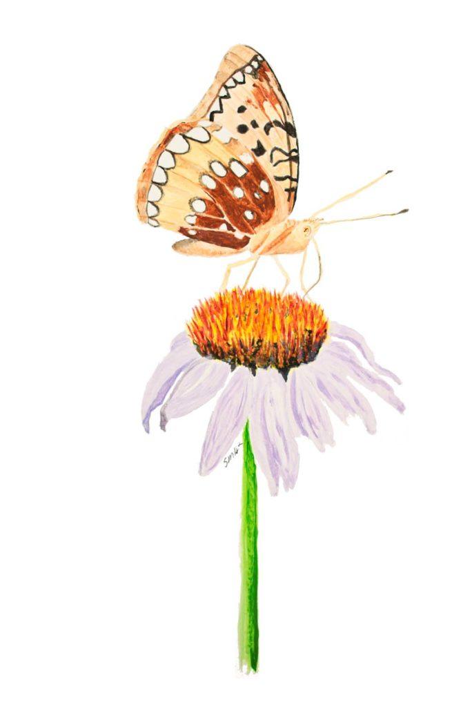 Spangled Fritilary on Echinacea